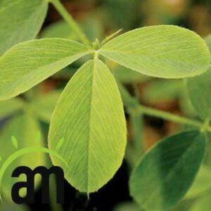 what is the effect of Alfalfa in losing weight
